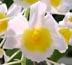 Dendrobium palpebrae