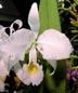 Cattleya trianaei alba