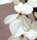 Aerangis luteo-alba var. rhodosticta