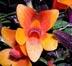 Dendrobium cuthbertsonii