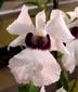 Dendrobium sanderae var major