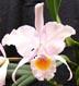 Cattleya schroderae