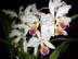 Cattleya mossiae var semi alba