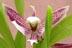 Anacheilium garcianum