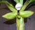Cycnoches lehmannii